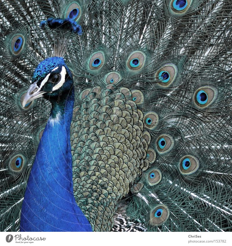 Blue Beautiful Animal Eyes Gray Bird Park Feather Zoo Wheel Presentation Conceited Poultry Peacock Rutting season Cartwheel