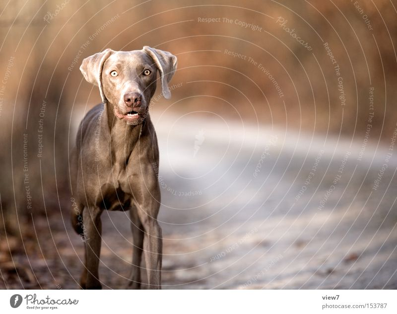 Oh, bake: Dog Weimaraner Animal Hound Tension Perspective Looking Concentrate Mammal Snapshot Exterior shot Copy Space right Gaze Looking into the camera