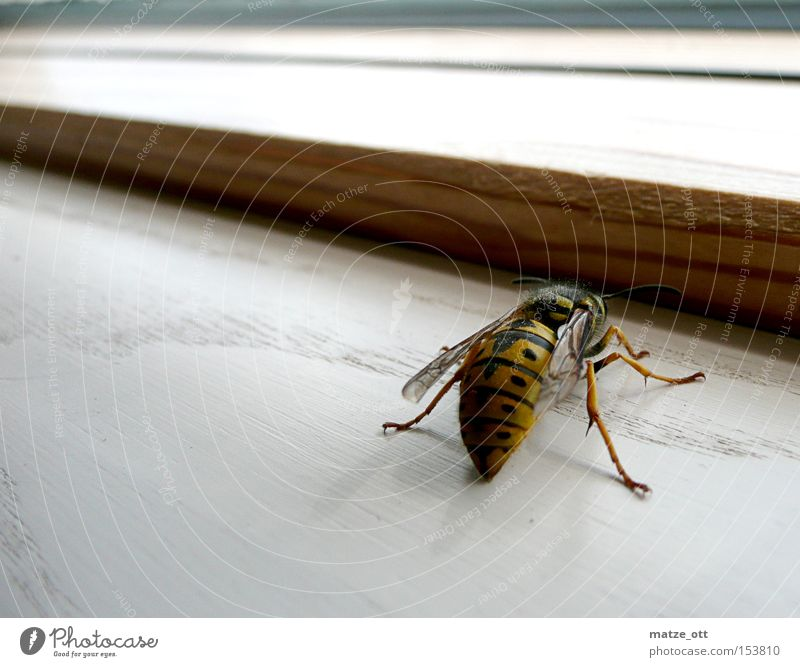 Wasp from behind Wasps Bee Macro (Extreme close-up) Close-up Animal Insect Spine Window Waist waspentaile
