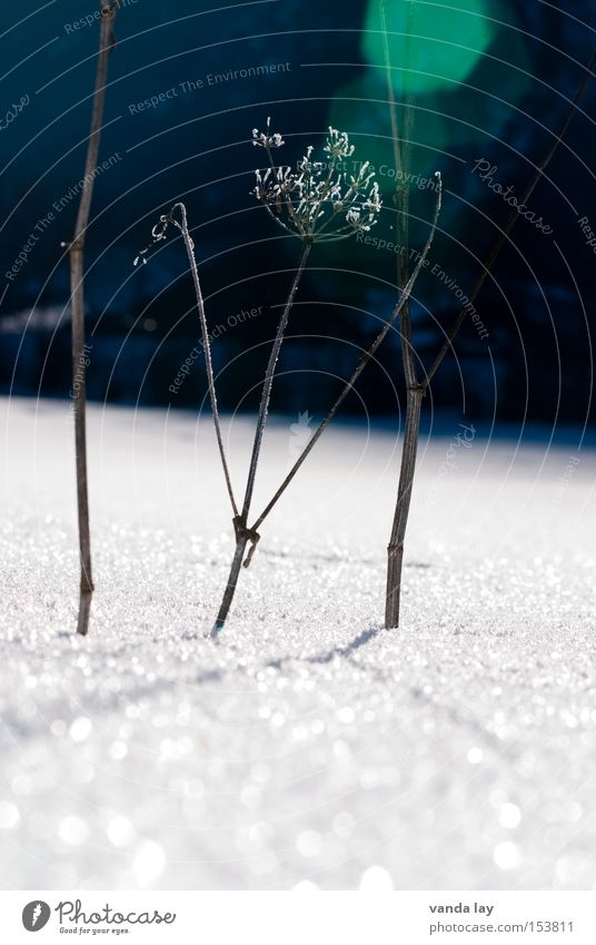 Plant Winter Cold Snow Ice Frost Thin Transience Shriveled Dried Lens flare Apiaceae
