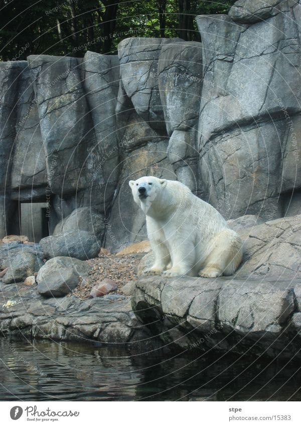Water Animal Rock Sit Zoo Polar Bear