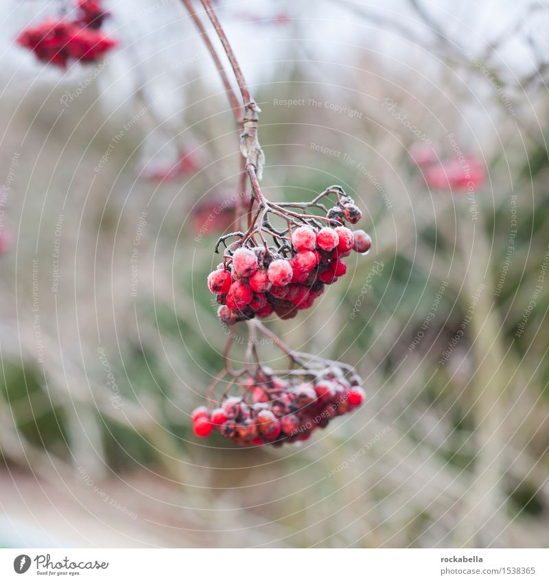 Rowberries covered with snow Nature Winter Ice Frost Snow Rawanberry Colour photo Exterior shot Shallow depth of field