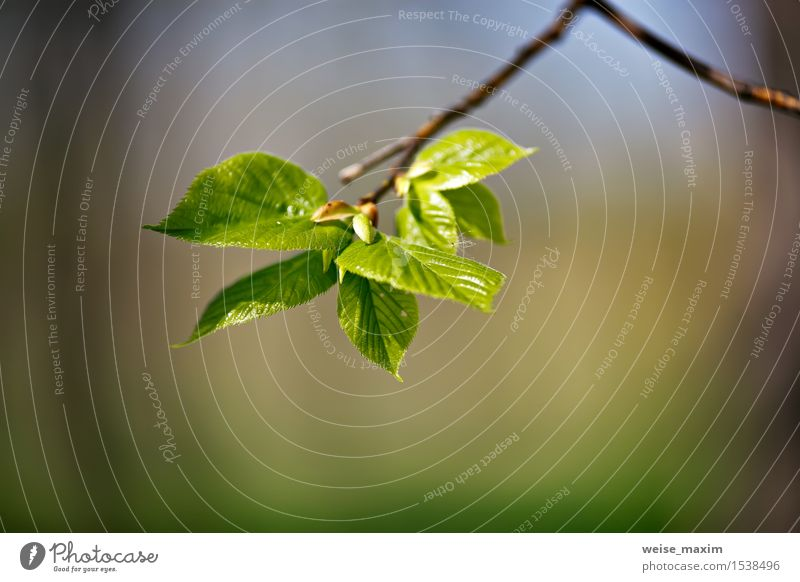 Spring foliage. Young green leaves. Beautiful Life Summer Sun Environment Nature Plant Climate Beautiful weather Tree Leaf Foliage plant Park Forest Growth