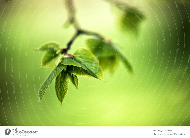 Spring foliage. Young green leaves. Beautiful Life Summer Sun Environment Nature Plant Sunlight Tree Leaf Park Forest Growth Bright New Green Colour background