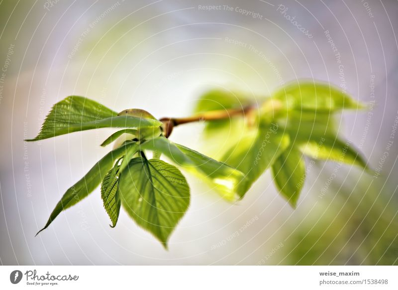 Spring foliage. Young green leaves. Beautiful Life Summer Sun Environment Nature Plant Beautiful weather Tree Leaf Garden Park Forest Growth Bright New Green