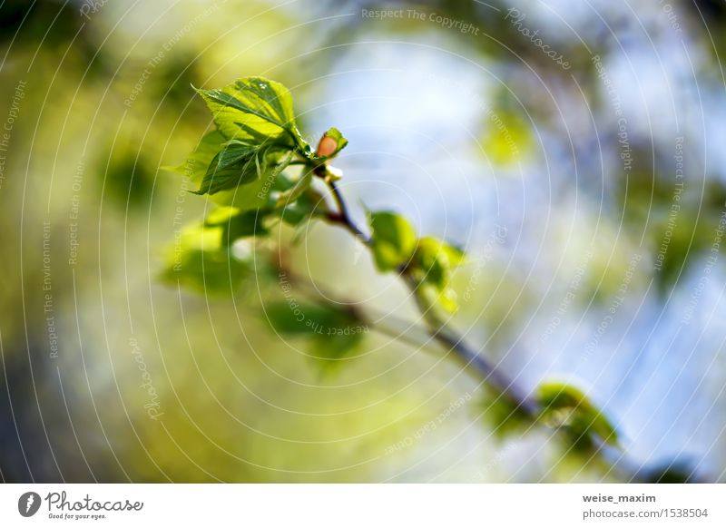 Spring foliage. Young green leaves. Beautiful Life Summer Sun Environment Nature Plant Beautiful weather Tree Leaf Foliage plant Park Forest Growth Bright New