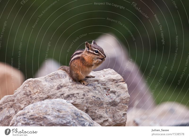 chipmunks Environment Animal Wild animal Eastern American Chipmunk Squirrel Croissant Rodent Small USA Yosemite National Park Travel photography Stone Close-up