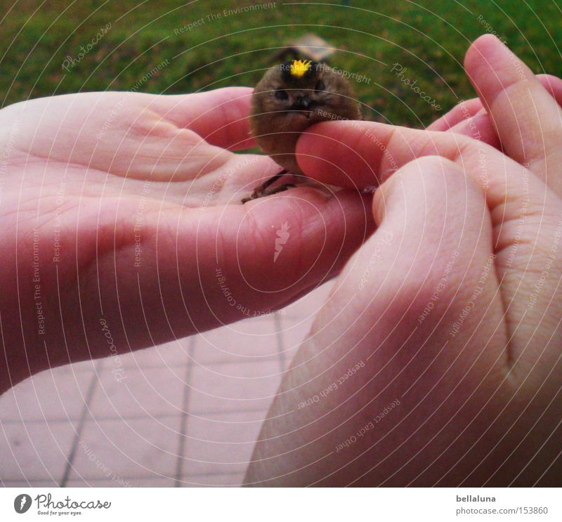 Nature Hand Meadow Small Bird Gold Sit Fingers Lawn Smooth Love of animals Caress Palm of the hand