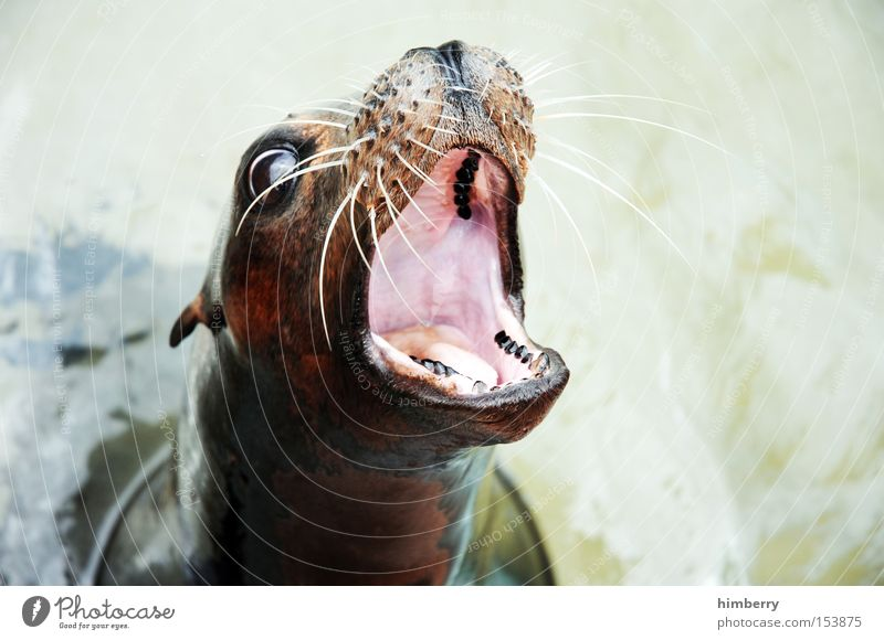 superlarge mouth Seals Animal Appetite Set of teeth Dentist Snout Zoo Head Harbour seal Muzzle Feeding Mammal Water