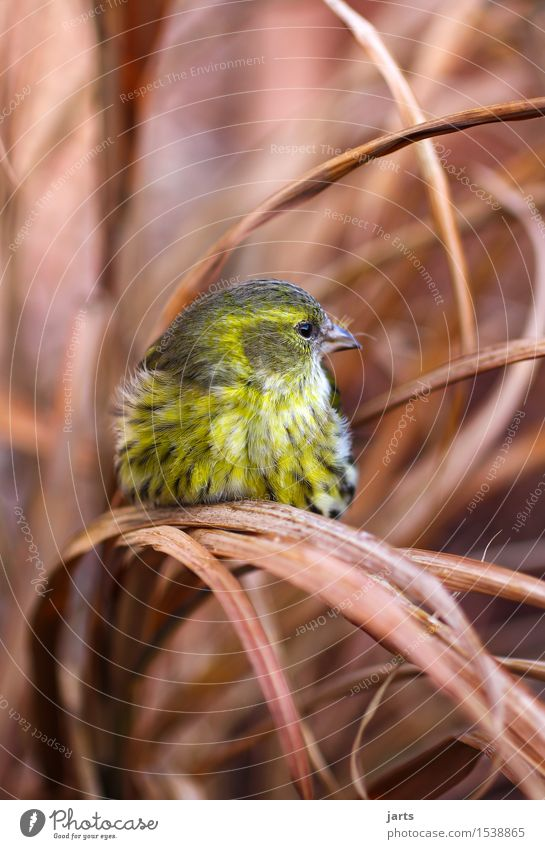 Eurasian Siskin Grass Bushes Animal Wild animal Bird 1 Sit Beautiful Yellow Green Nature Feather Colour photo Multicoloured Exterior shot Close-up Deserted