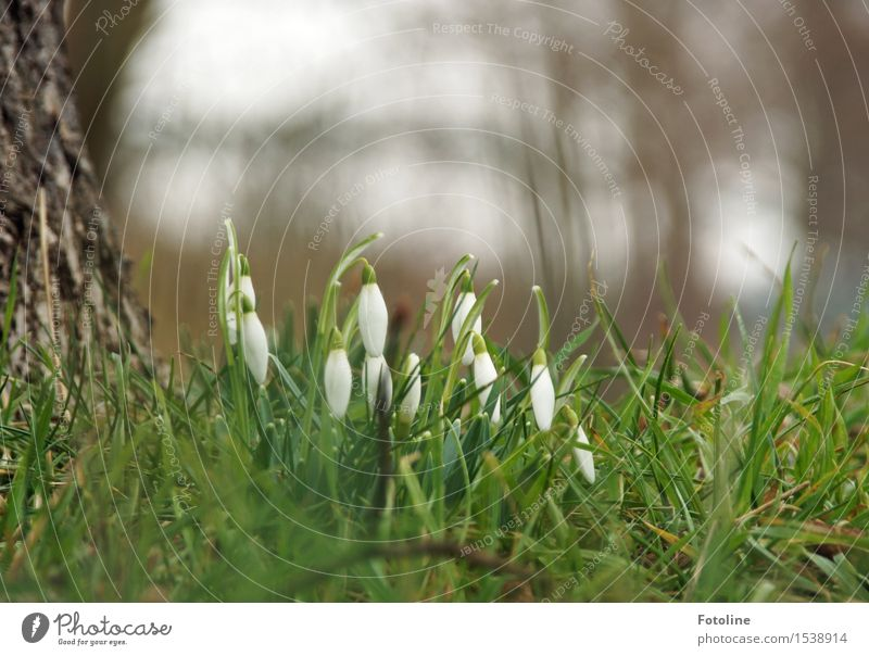 SPRING MESSENGERS Environment Nature Landscape Plant Spring Tree Flower Grass Garden Park Meadow Natural Green White Spring flowering plant Snowdrop Tree trunk