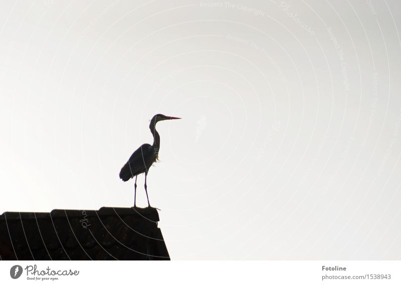 proud Nature Animal Wild animal Bird 1 Black White Heron Roof House (Residential Structure) Beak Legs Colour photo Subdued colour Deserted Copy Space left