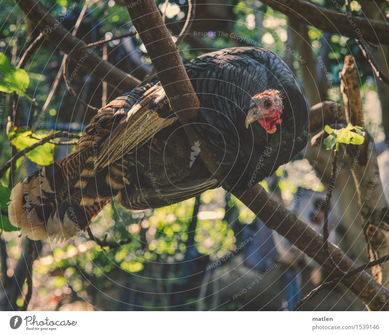Nature Plant Green Tree Red Leaf Animal Gray Brown Glittering Sit Pet Stomach Barn fowl Hen