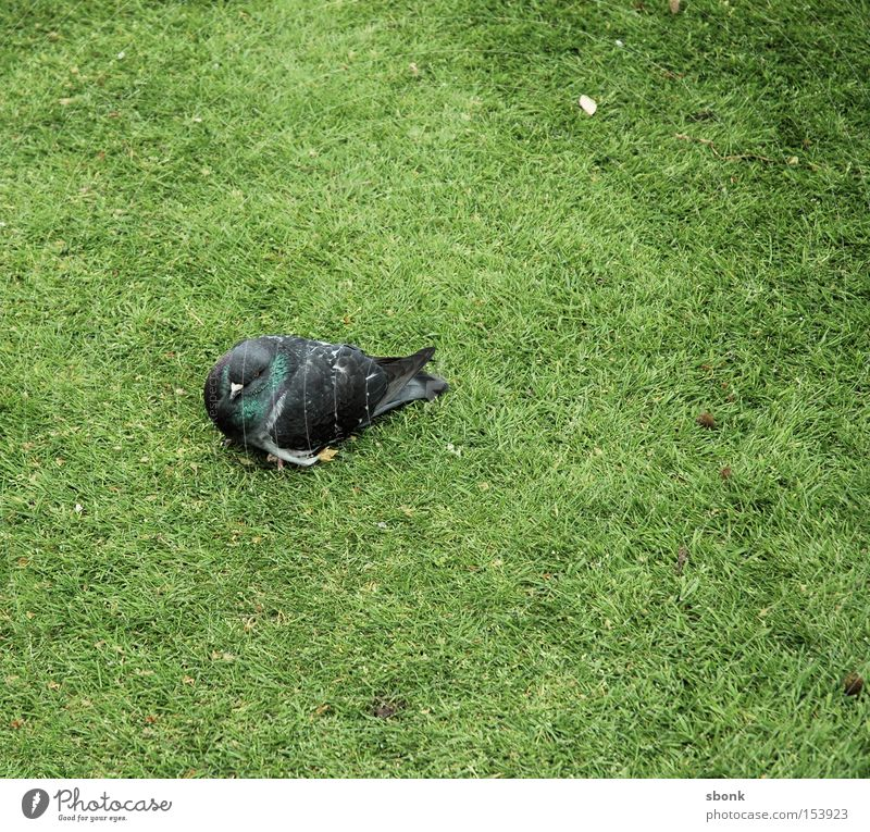 Green Grass Park Bird Fatigue Pigeon Feeble
