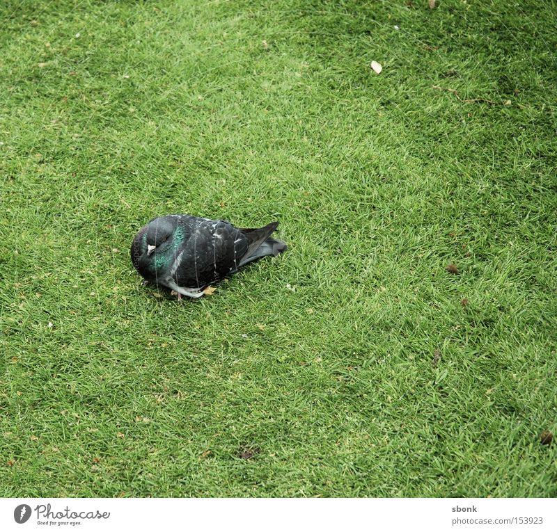 Green Grass Park Bird Fatigue Pigeon Feeble
