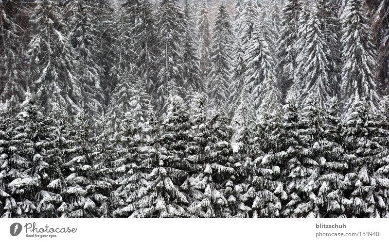 snowfirns Forest Fir tree Coniferous forest Tree Winter Switzerland Black & white photo Nature Landscape Canton Graubünden Snow lenzerheide Swiss Suiza