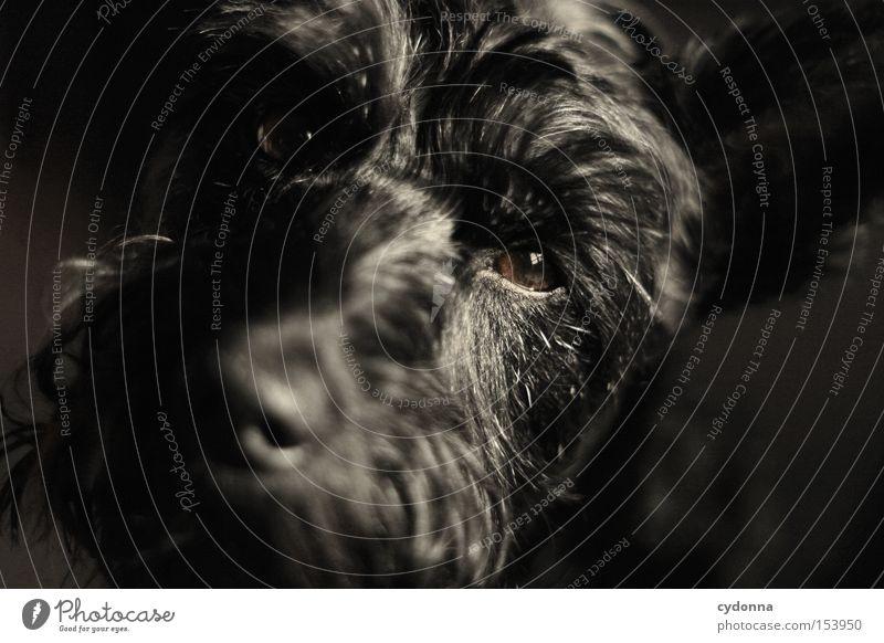 Animal Eyes Life Emotions Dog Pelt Pet Mammal Snout Loyalty Companion Miniature Schnauzer