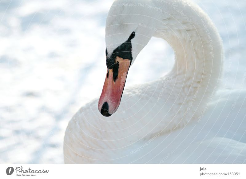 winter beauty Swan Elegant Animal Beak Neck Bird Feather White Winter Snow Cold Beautiful Esthetic Pride