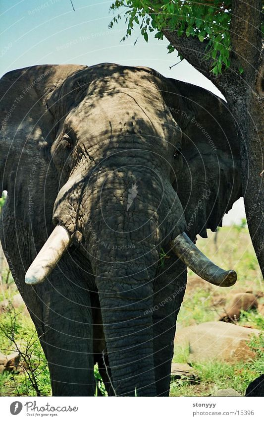 South Africa Elephant Krueger Nationalpark