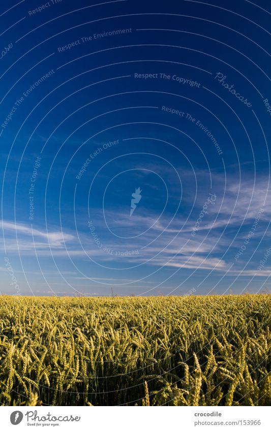 sea of wheat Wheat Ear of corn Nutrition Agriculture Field Sky Clouds Summer Dry Seed Stalk Ecological Grain Food Mature