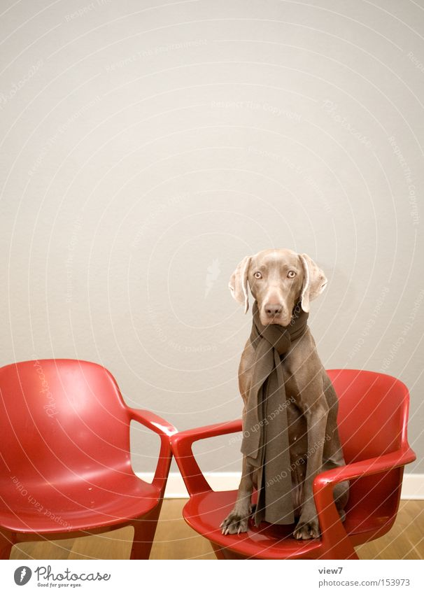 Red Calm Sadness Dog Brown Sit Wait Esthetic Authentic Chair Curiosity Seating Interest Mammal Wisdom Motionless