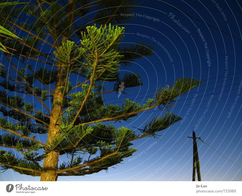 Sky Tree Green Blue Plant Fir tree Spruce Fir needle Stone pine