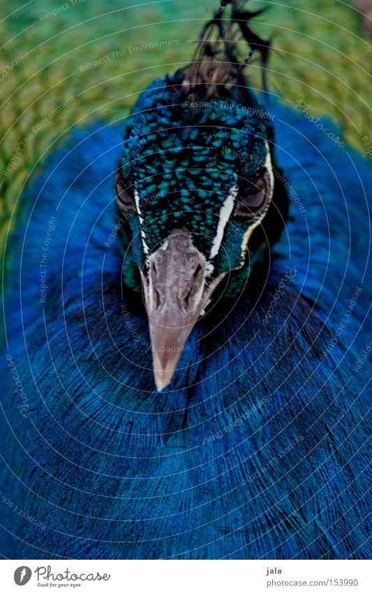 Beautiful Blue Eyes Animal Head Bird Esthetic Feather Beak Pride Peacock