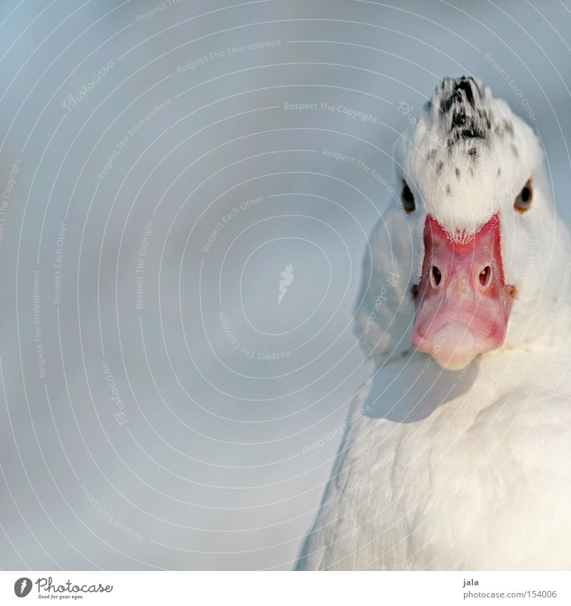 Shin Sang Duck Lee Animal Beak Neck Bird Feather White Winter Snow Cold Head Eyes Macro (Extreme close-up) Close-up