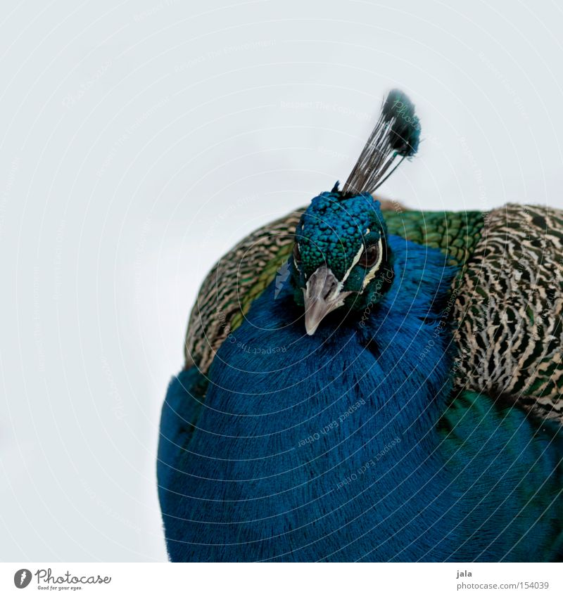 pavo cristatus II Peacock Blue Bird Feather Head Eyes Animal Beautiful Esthetic Snow Pride Looking Beak Winter lilac
