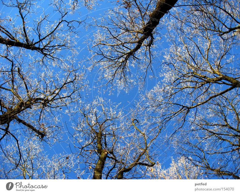 frost crowns Winter Tree Frost Ice Snow Sky Blue Forest Cold Twig Branch Nature Tall Above