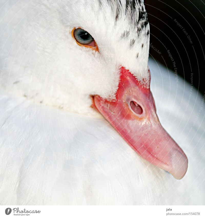 White Beautiful Animal Eyes Head Bird Feather Duck Beak