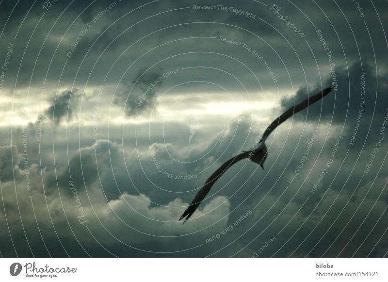 Sky Clouds Dark Gray Bird Weather Flying Aviation Wing Wild Gale Thunder and lightning