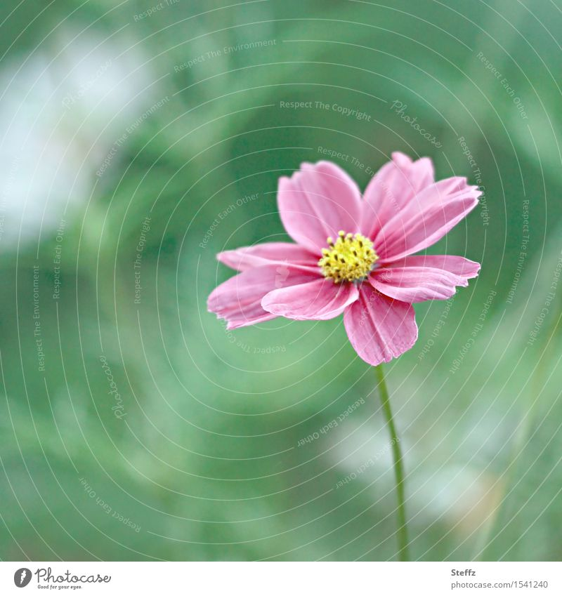 a small cosmea is still blooming in october Cosmea little flowers Cosmos Cosmos bipinnatus pink blossom pink flower Flower Blossom long flowering