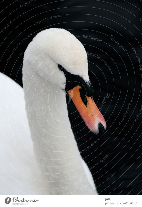 my dear swan Swan Elegant Animal Beak Neck Bird Feather White Beautiful Esthetic Pride Head