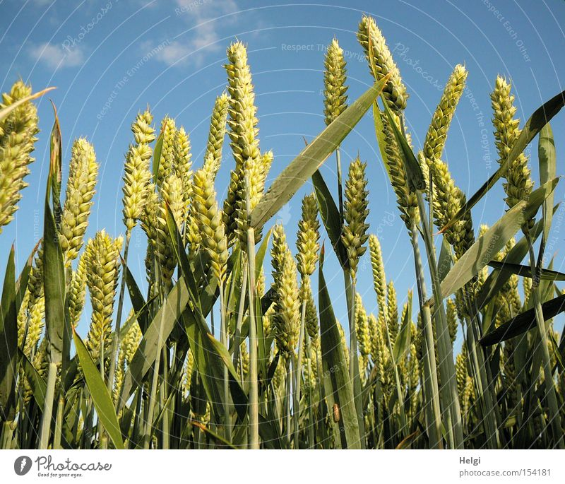 Cornfield with unripe wheat ears in front of a blue sky Colour photo Exterior shot Deserted Day Worm's-eye view Grain Nutrition Organic produce Nature Plant Sky