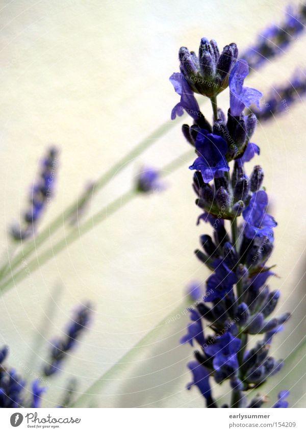 Nature Flower Plant Summer Blossom Spring Violet Tea Fragrance Smooth Tea plants Lavender Medicinal plant