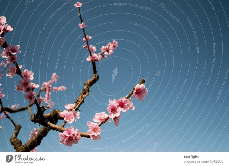 blossoms Environment Nature Sky Sun Spring Plant Tree Blossom Agricultural crop Blossoming To enjoy Faded Fresh Pink Optimism Hope Idyll Cherry Cherry blossom