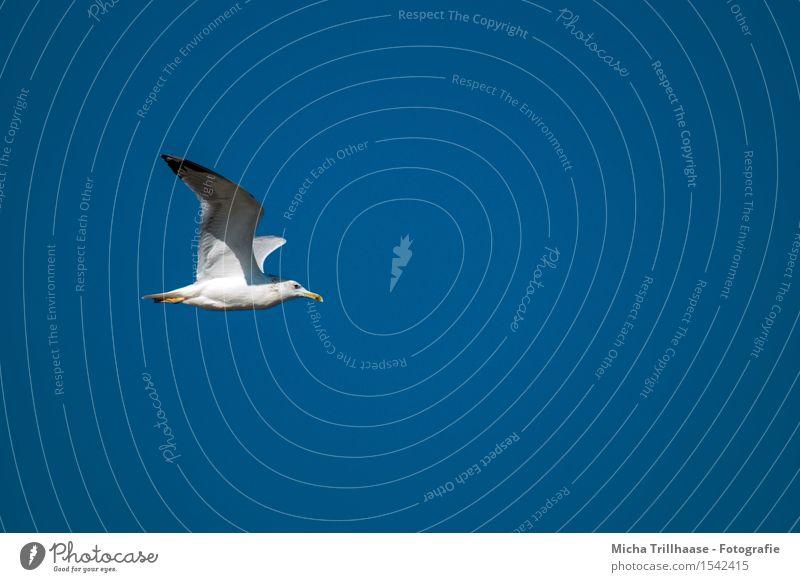seagull in flight Vacation & Travel Sun Environment Nature Animal Sky Cloudless sky Sunlight Weather Beautiful weather Coast Ocean Aviation Wild animal Bird