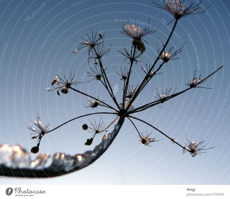 Nature Plant Winter Cold Snow Ice Glittering Transience Stalk Frozen Crystal structure Feeler Outstretched Glimmer Precious stone