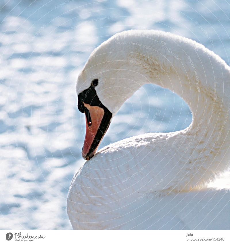 winter beauty II Swan Elegant Animal Beak Neck Bird Feather White Winter Snow Cold Beautiful Esthetic Pride