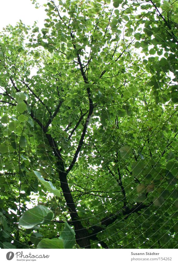 Tree Green Summer Leaf Forest Dream Warmth Arm Branch Treetop Twig