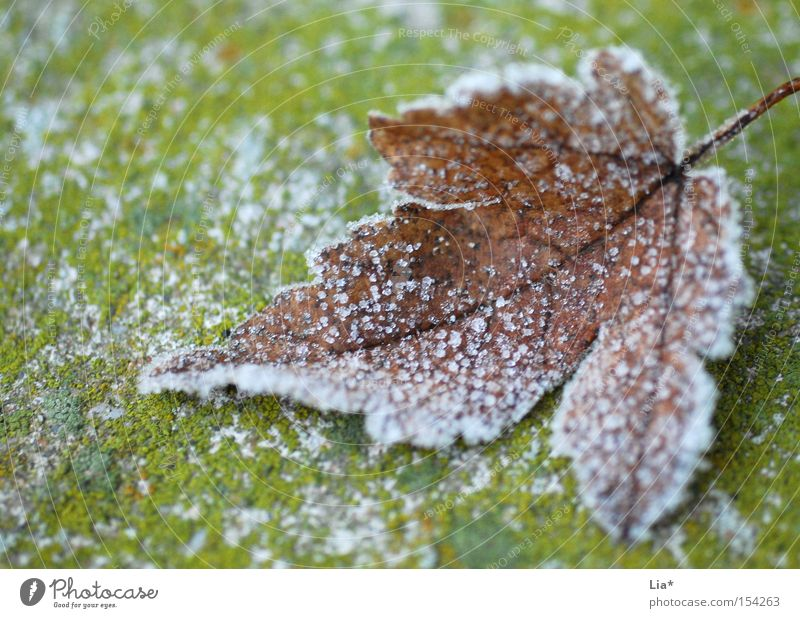 Winter Leaf Cold Snow Autumn Ice Frost Frozen Freeze Macro (Extreme close-up) Crystal structure