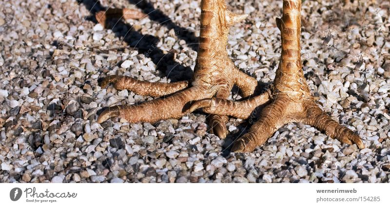 Ostrich (ground floor) Claw Animal foot Legs Bird Gravel Drop shadow Going Swagger horn scales Flake Detail In pairs