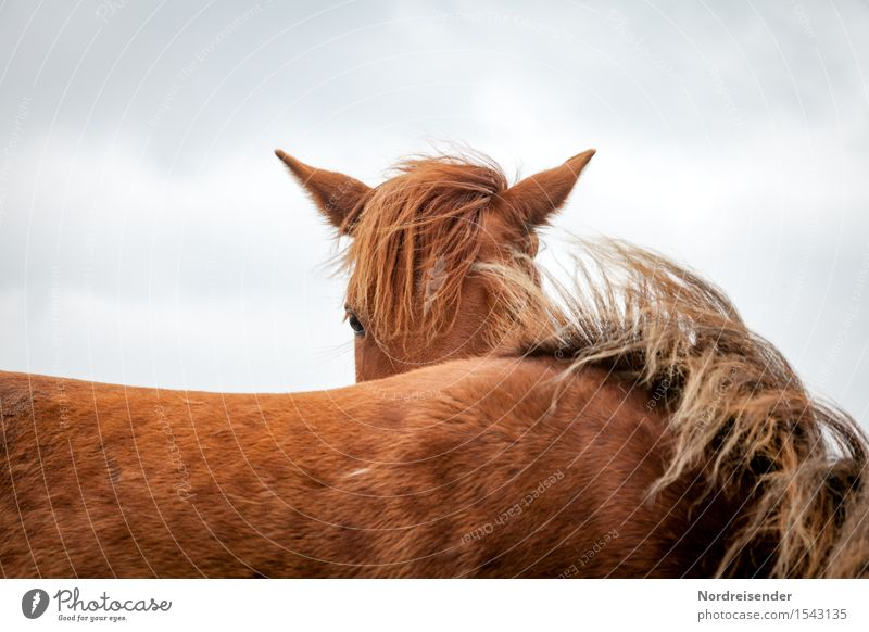 I see you.... Leisure and hobbies Ride Agriculture Forestry Climate Animal Farm animal Horse 2 Observe Esthetic Brown Peaceful Wind Horse's head Mane Curiosity