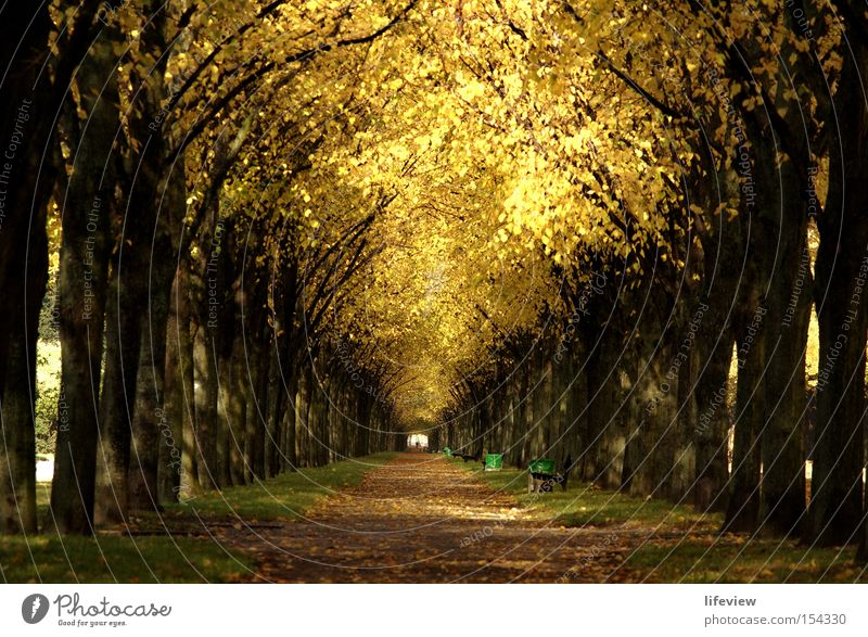 A roof of gold Avenue Tree Autumn Leaf Park Autumn leaves Autumnal Central perspective Tunnel vision Footpath Row of trees Deserted Leaf canopy Autumnal colours