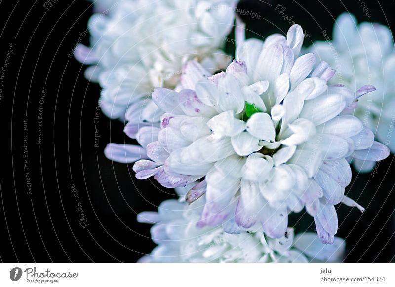 spotless Flower Blossom Splendid White Black Plant Nature Summer Beautiful Blossoming Blossom leave