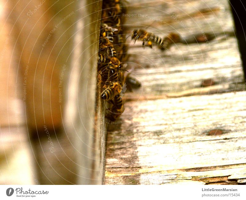approach lane Bee Stick House (Residential Structure) Entry hole Insect Wood Box pollen panties