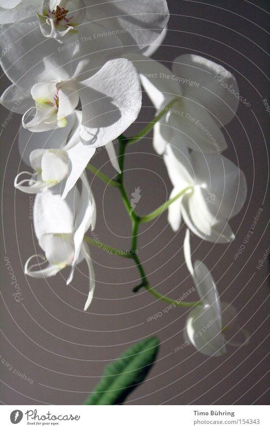 White Flower Green Joy Calm Dark Bright Serene Blossoming Still Life Orchid