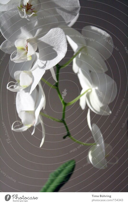 White Flower Green Joy Calm Dark Bright Serene Blossoming Still Life Orchid