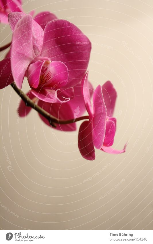 Flower Plant Calm Pink Blossoming Still Life Orchid